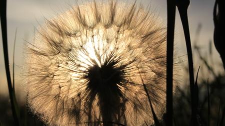 Sun in a dandelion Banque d'images