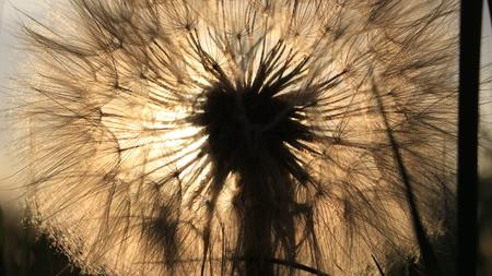 Le pissenlit a avalé le soleil Banque d'images - 95389267