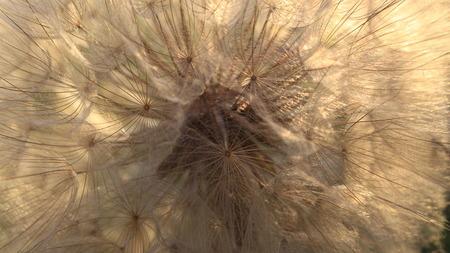 Soft dandelion Banque d'images