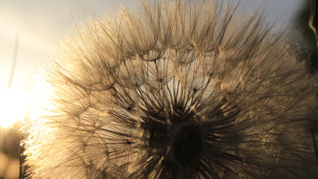 Sun and dandelion