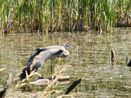 heron wing stretch