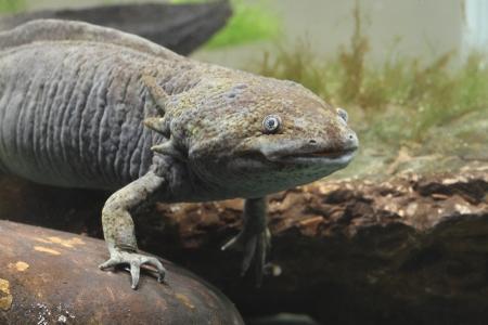 captive animal: Axolotl, Ambystoma mexicanum, single captive animal in tank