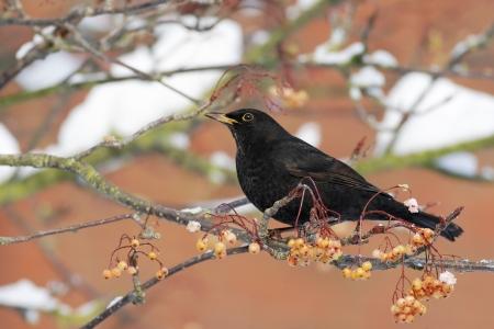 turdus: Blackbird, Turdus merula, Single male on rowan berries, West Midlands Stock Photo
