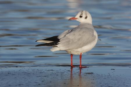 larus ridibundus: Black-headed gull, Larus ridibundus, single winter plumaged bird standing on ice by water, Lothian, Scotland  Stock Photo