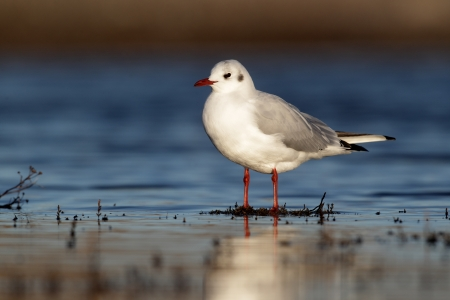 larus ridibundus: Black-headed gull, Larus ridibundus, single bird standing in water