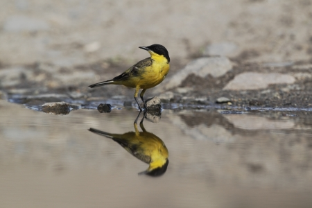 motacilla: Black-headed wagtail, Motacilla flava feldegg, single bird by water