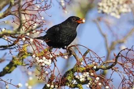 turdus: Blackbird, Turdus merula, single male on rowan berries, Midlands
