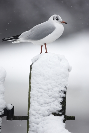 larus ridibundus: Black-headed gull, Larus ridibundus, single bird in winter plumage on snow covered gate post, Slimbridge, Gloucestershire, UK