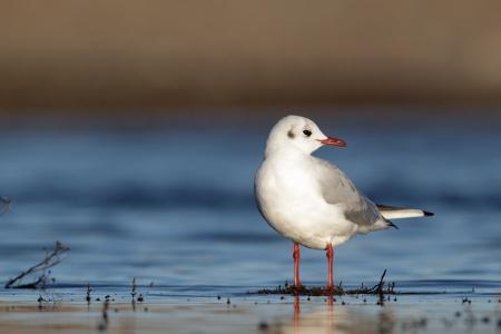 larus ridibundus: Black-headed gull, Larus ridibundus, single bird standing in water, Norfolk