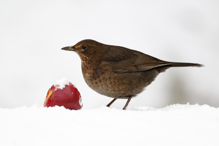 Blackbird, Turdus merula, Single female with apple in snow, West Midlands photo