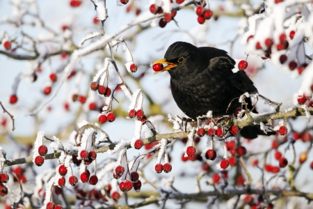 thrush: Blackbird, Turdus merula, single male on hawthorn berries in frost, Midlands, December 2010