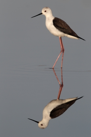 himantopus: Black-winged stilt, Himantopus himantopus, single bird standing in blue water with deep reflection, Portugal
