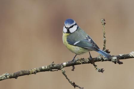 caeruleus: Tit azul, Parus caeruleus, solo p�jaro en rama, Midlands Foto de archivo