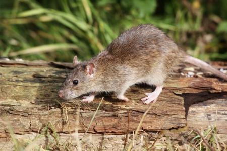 Brown rat, Rattus norvegicus, single animal on log, Midlands, September 2010 Stock Photo