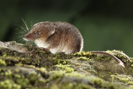 Common shrew, Sorex araneus, single animal, Midlands