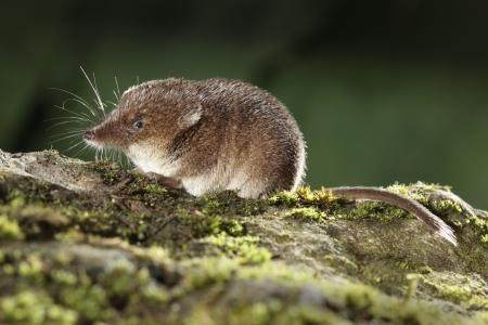 Common shrew, Sorex araneus, single animal, Midlands