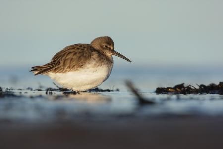lothian: Dunlin, Calidris alpina, single winter plumaged bird on beach with sea laping around feet, Lothian, Scotland, winter 2009