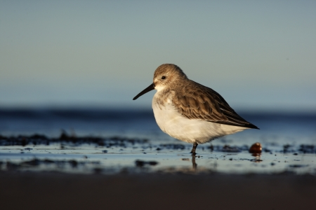 lothian: Dunlin, Calidris alpina, single winter plumaged bird on beach with sea laping around feet, Lothian, Scotland