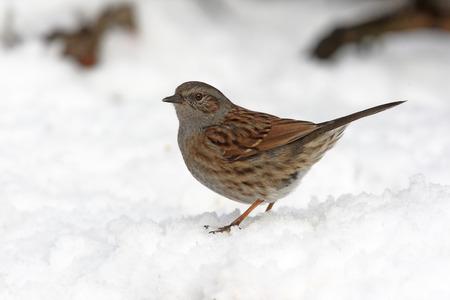 prunella: Dunnock or hedge sparrow, Prunella modularis, single bird in snow, Staffordshire        Stock Photo