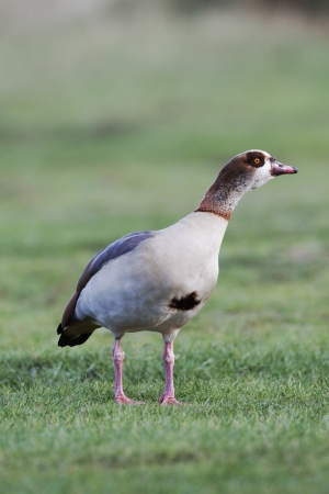 alopochen: Egyptian goose, Alopochen aegyptiacus, single male on grass, London area, October 2010       Stock Photo