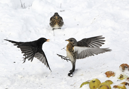 thrush: Fieldfare, Turdus pilaris, fighting with male blackbird over apples in snow, West Midlands