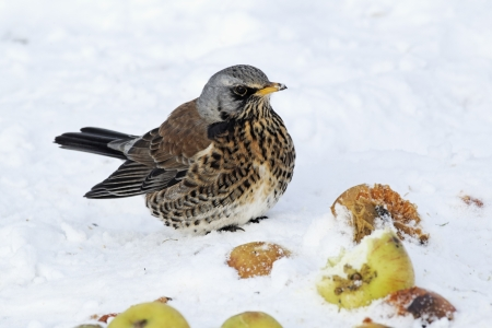 Fieldfare, Turdus pilaris, single bird on apples in snow,  West Midlands photo