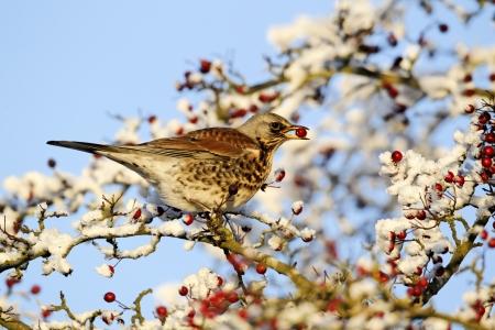 pilaris: Fieldfare, Turdus pilaris, single bird feeding on hawthorn berries in heavy frost, Midlands, December 2010