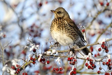 Fieldfare, Turdus pilaris, single bird feeding on hawthorn berries in heavy frost, Midlands Stock Photo