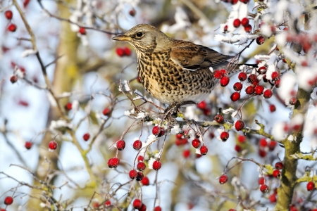 Fieldfare, Turdus pilaris, single bird feeding on hawthorn berries in heavy frost, Midlands photo