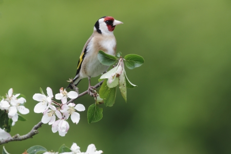 hedgerow: Goldfinch, Carduelis carduelis, single bird on blossom, Midlands, May 2010