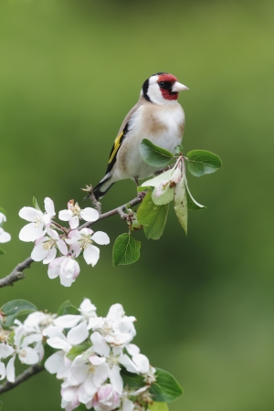 Goldfinch, Carduelis carduelis, single bird on blossom, Midlands, May 2010 photo