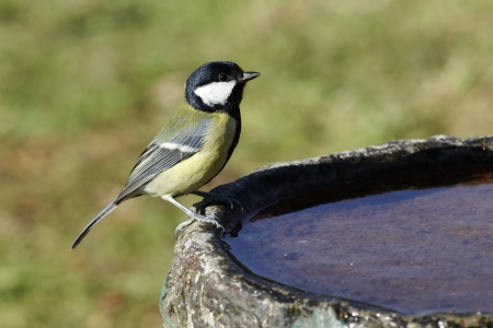 Great tit, Parus major, Single bird at garden drinking pool, Midlands photo