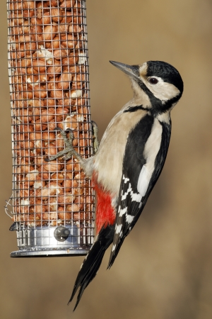 dendrocopos: Great-spotted woodpecker, Dendrocopos major, single female on peanut feeder, Midlands
