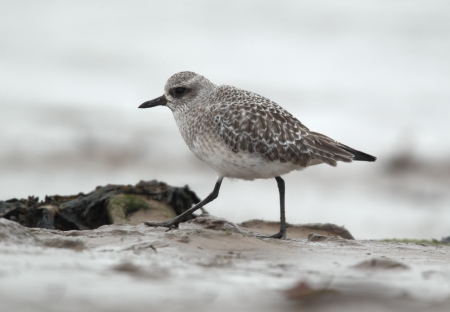 pluvialis: Grey plover, Pluvialis squatarola, single bird on mudflats, Norfolk