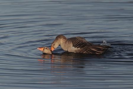 anser: Greylag goose, Anser anser, two birds mating in water, Norfolk               Stock Photo