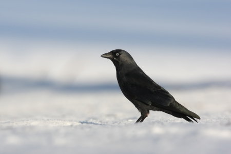 lothian: Jackdaw, Corvus monedula, single bird standing on snow, Lothian, Scotland, winter 2009
