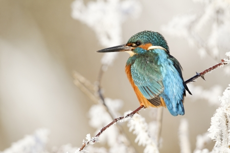 alcedo: Kingfisher, Alcedo atthis, Single bird on frosty perch, Midlands Stock Photo