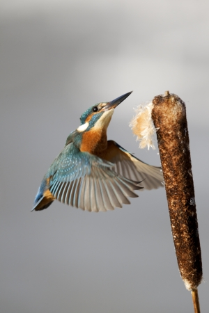 alcedo: Kingfisher, Alcedo atthis, Single bird landing on reed head, Midlands