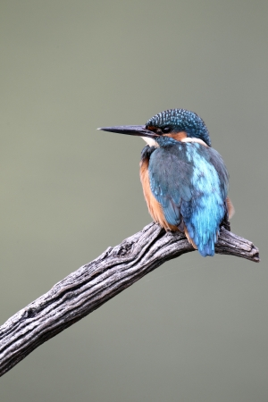 alcedo: Kingfisher, Alcedo atthis, single bird perched, October 2010 Stock Photo