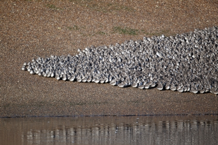 wader: Knot, Calidris canutus, large flock at roost in pits, Snettisham RSPB reserve, Norfolk Stock Photo