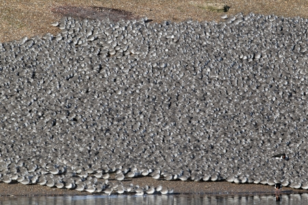pits: Knot, Calidris canutus, large flock at roost in pits, Snettisham RSPB reserve, Norfolk, winter 2010