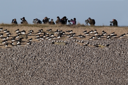 pits: Knot, Calidris canutus, large flock at roost in pits with oystercatchers, Snettisham RSPB reserve, Norfolk           Stock Photo
