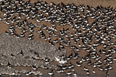 wader: Knot, Calidris canutus, large flock at roost in pits with oystercatchers, Snettisham RSPB reserve, Norfolk Stock Photo