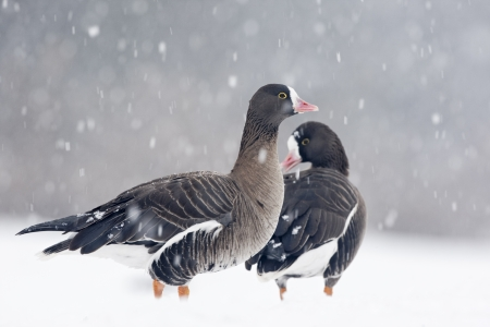 white fronted goose: Lesser white-fronted goose, Anser erythropus, Two captive birds in snow storm, Slimbridge, Gloucestershire, UK           Stock Photo