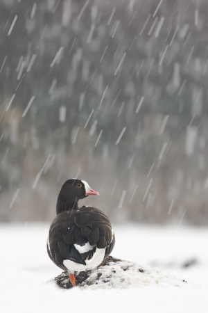 Lesser white-fronted goose, Anser erythropus, single captive bird in snow storm, Slimbridge, Gloucestershire, UK              photo