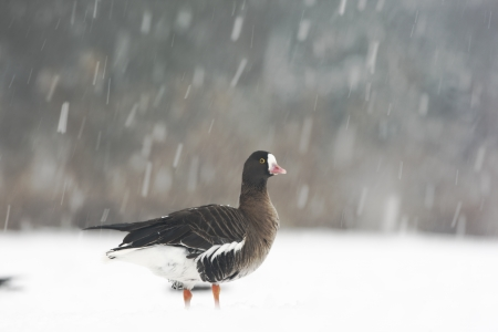 white fronted goose: Lesser white-fronted goose, Anser erythropus, single captive bird in snow storm, Slimbridge, Gloucestershire, UK