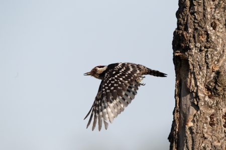 dendrocopos: Lesser-spotted woodpecker, Dendrocopos minor, single male in flight leaving nest entrance, Bulgaria