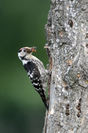 Lesser-spotted woodpecker, Dendrocopos minor, single male at nest entrance, Bulgaria Stock Photo