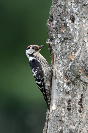 dendrocopos: Lesser-spotted woodpecker, Dendrocopos minor, single male at nest entrance, Bulgaria Stock Photo