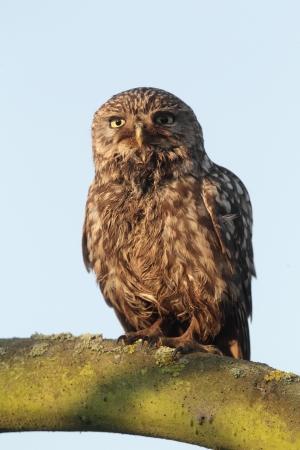 athene: Little owl, Athene noctua, single bird perched on branch, warwickshire